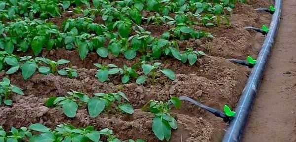 Как сделать капельный полив для огорода своими руками: фото, видео