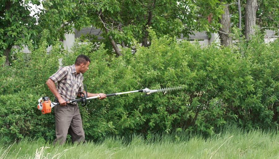 Живая изгородь быстрорастущая многолетняя вечнозелёная: виды растений