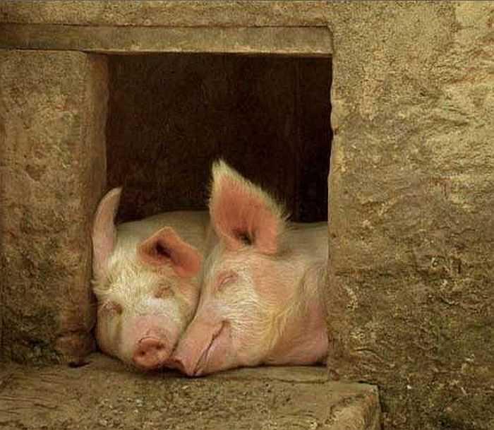 Сарай для свиней: как постороить своими руками