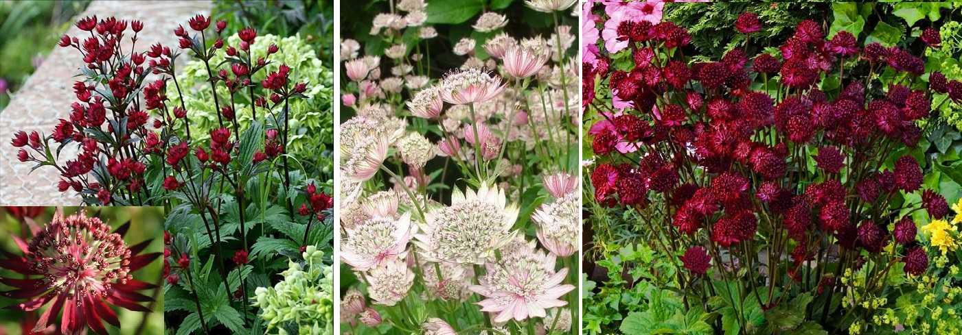 Многолетние цветы для дачи - фото с названиями (каталог)