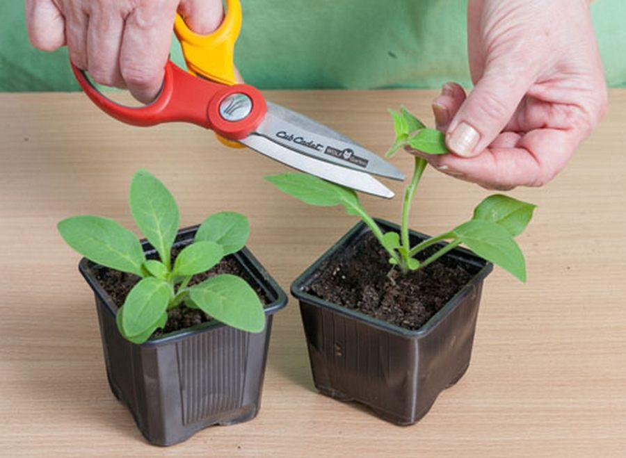 Петуния: посадка и уход, выращивание из семян, виды, сорта, болезни и вредители + фото