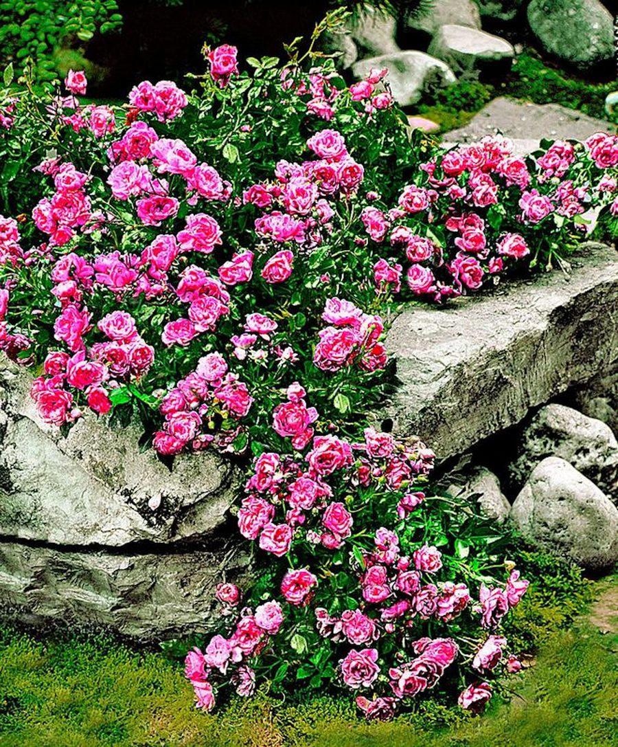 Розы: посадка, уход, способы размножения, выращивании в открытом грунте + фото