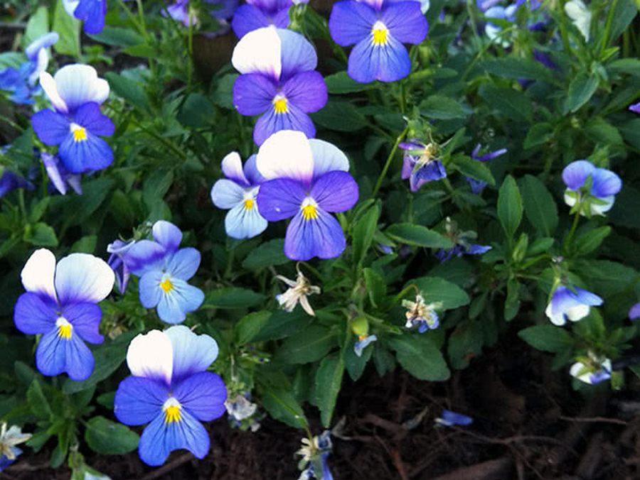 Виола: посадка, выращивание из семян, уход в открытом грунте, виды и сорта, разновидности растения виола болотная, корнута