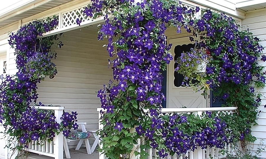 Клематисы посадка и уход в саду фото thumbnail