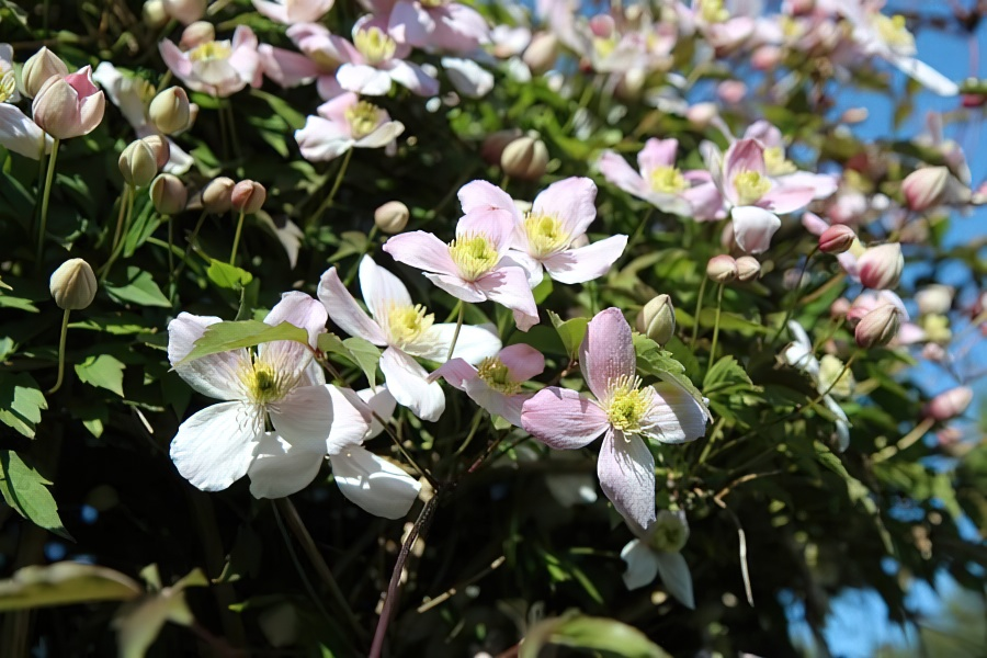 Клематисы - посадка и уход в открытом грунте, способы размножения и секреты пышного цветения