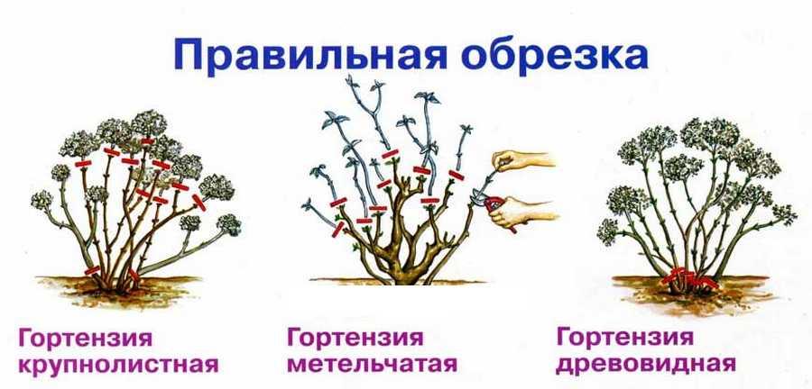 Гортензия: посадка уход в открытом грунте виды гортензии названия + фото