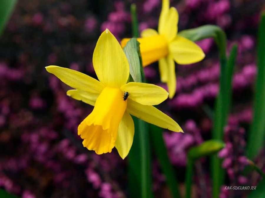 Нарцисс: фото цветов, как за ними ухаживать и когда цветут, виды