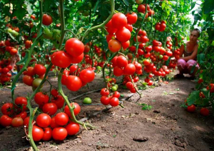 Помидоры: Уход и выращивание в открытом грунте, посадка семян на рассаду