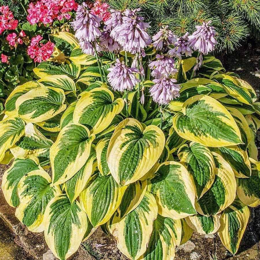 Цветок хоста: посадка уход в открытом грунте виды сорта + фото