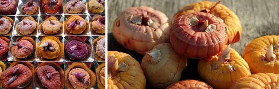 Нужно ли выкапывать гладиолусы осенью: как правильно хранить луковицы зимой
