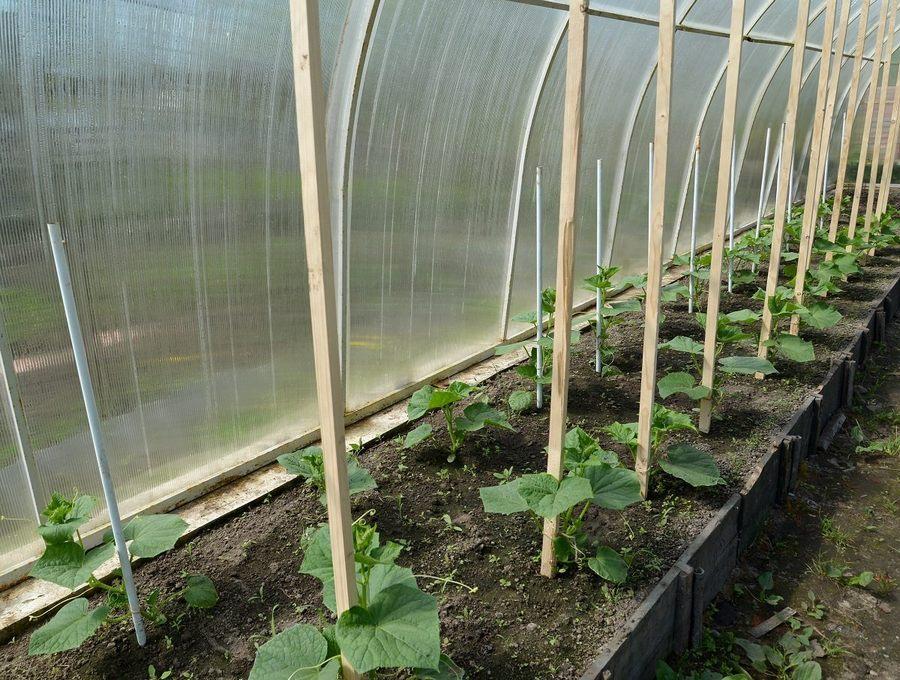 Как сажать огурцы на рассаду: подготовка семян, техника посева и выращивания + правила, сроки, уход