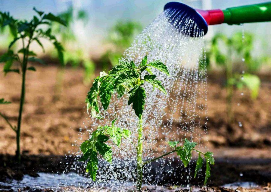 Помидоры: сорта, посадка и уход за томатами, вредители и болезни, польза, вред + противопоказания