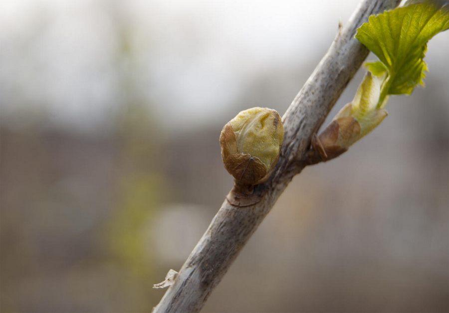 Обрезка смородины весной: сроки и правила проведения процедуры, плюсы и минусы + схемы для начинающих