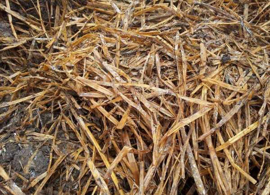 Выращивание шампиньонов в домашних условиях для новичков: пошаговые инструкции (фото)