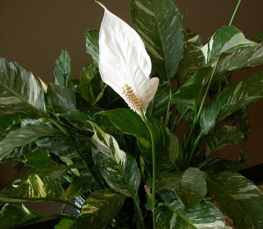 Спатифиллум (цветок женское счастье): уход в домашних условиях, приметы, почему желтеют + сохнут листья